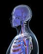 3d rendered illustration - vascular system