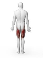 3d rendered illustration - upper leg muscles