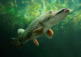 Underwater photo of a big Pike (Esox Lucius). - Fine Art prints
