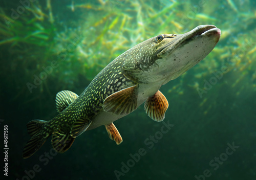 Underwater photo of a big Pike (Esox Lucius). - 49617558