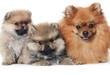 Spitz puppy isolated on white background