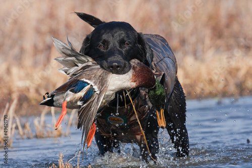 Foto op Aluminium Jacht Black Lab with Mallard