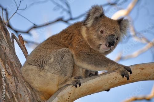 Aluminium Koala Koala in cape Otway reserve, Victoria (Australia)