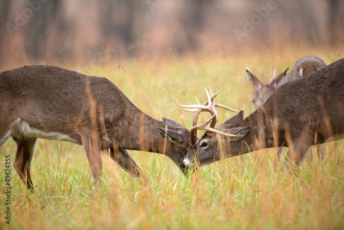 white-tailed-deer-bucks-sparing