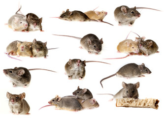 mice collection