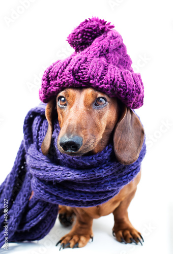 Dog in purple hat
