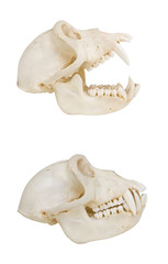 Monkey skull, isolated, side view