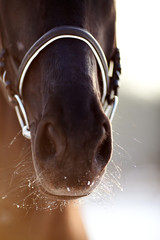 Nose of a horse.