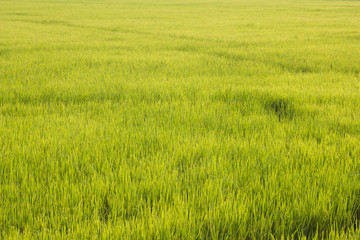 Green field at country