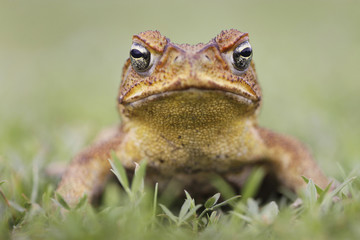Cane toad on grass