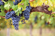 Leinwanddruck Bild - Red wine grapes on old vine
