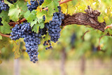 Fototapety Red wine grapes on old vine