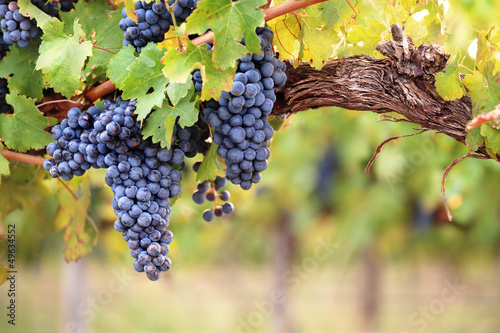 Red wine grapes on old vine