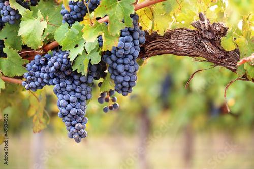 Plagát, Obraz Red wine grapes on old vine
