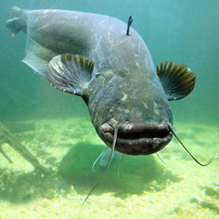 Underwater photo of The Catfish (Silurus Glanis).