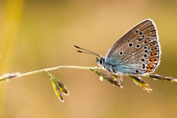 Butterfly Cyaniris Helena