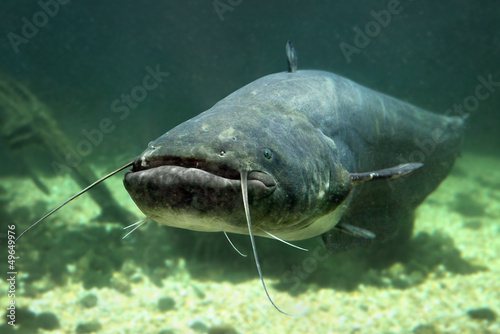 Underwater photo of The Catfish (Silurus Glanis). - 49649976