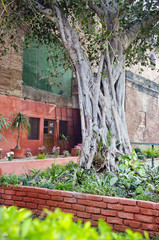 banyan tree in Agra garden, India