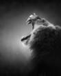 Fototapeten,löwe,portrait,growl,gebrüll