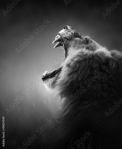 Wall mural Lion displaying dangerous teeth