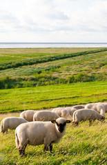 Schafe auf einem Deich an der Nordsee