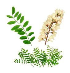 Feuillage et fleur d'acacia