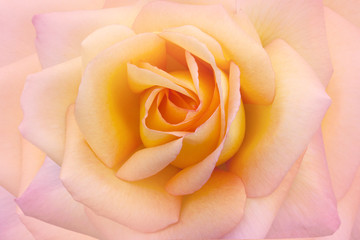 Beauty rose background closeup macro.