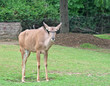 A Greater Kudu standing on the green grass