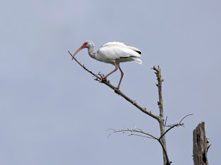 White Ibis Standing on The Tree