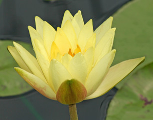 Yellow Waterlily Close up