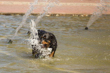 Happy Rottweiler Playing in the Water Fountain