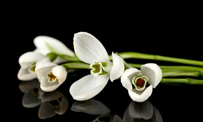 Snowdrop flowers, isolated on black