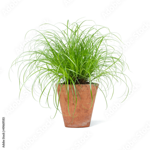 Cyperus Zumula Katzengras