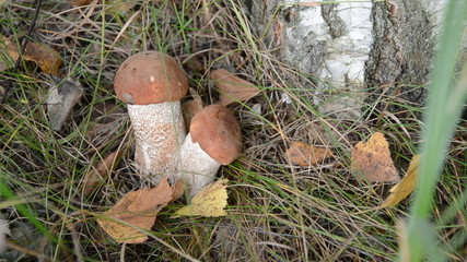 Mushrooms Orange cap boletus in forest and autumn leaves