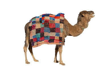 Camel on white