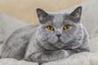 Graue Katze liegend - British Kurzhaar