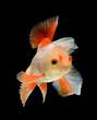 fancy goldfish isolated on black background