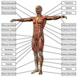 3D male or human anatomy, man with muscles