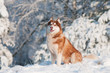 brown siberian husky portrait outdoors