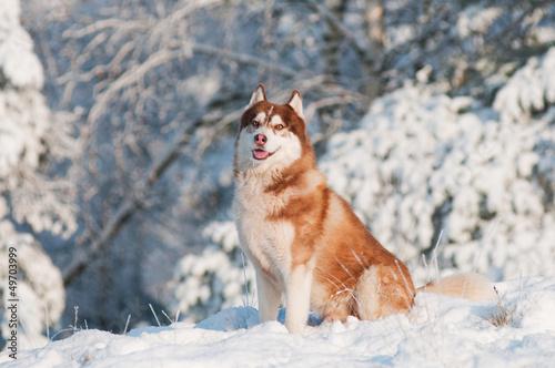 brown siberian husky portrait outdoors