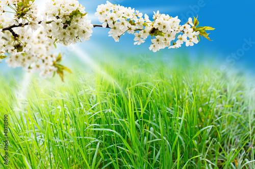 Frühlingswiese und Kirschblüten