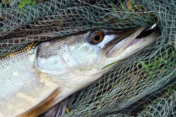 The Northern Pike on the fish net.