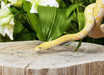 Lavender Tiger Albino Python on a stump