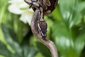 Royal Python rested on branch
