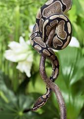 Royal Python creeping on branch