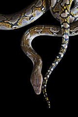 Python on black background