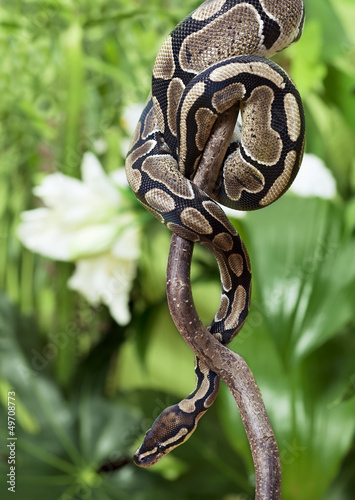 Royal Python creeping on branch