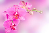 beautiful pink orchid flower