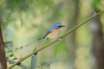 タイ北西部の野鳥 ミヤマヒメアオヒタキ