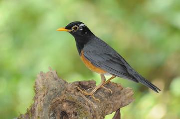 タイ北部の野鳥 ムナグロアカハラ